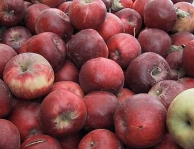 фото сорта яблок для Нижнего поволжья. Джонатан